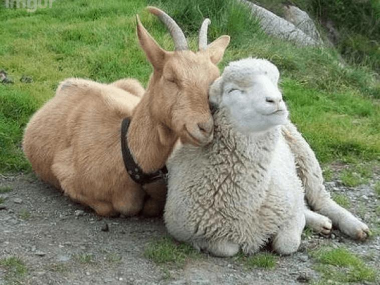 Даниил 8 - баран и козел